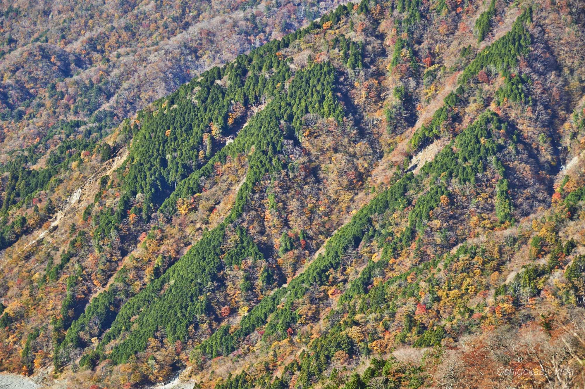 丹沢山の針葉樹と紅葉