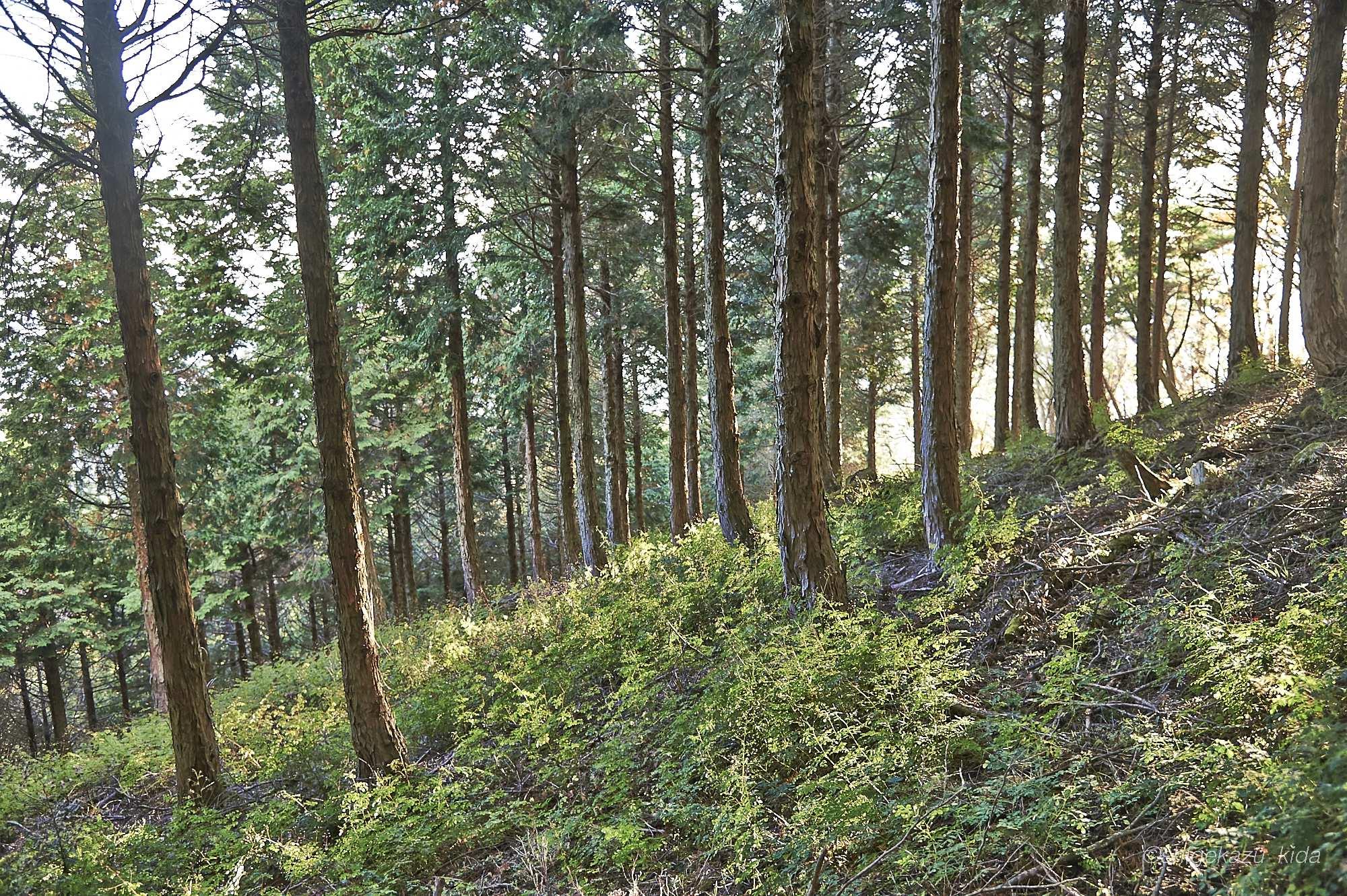 丹沢の杉林