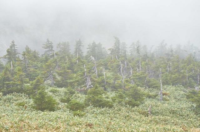 靄の平ヶ岳山頂の笹原と森