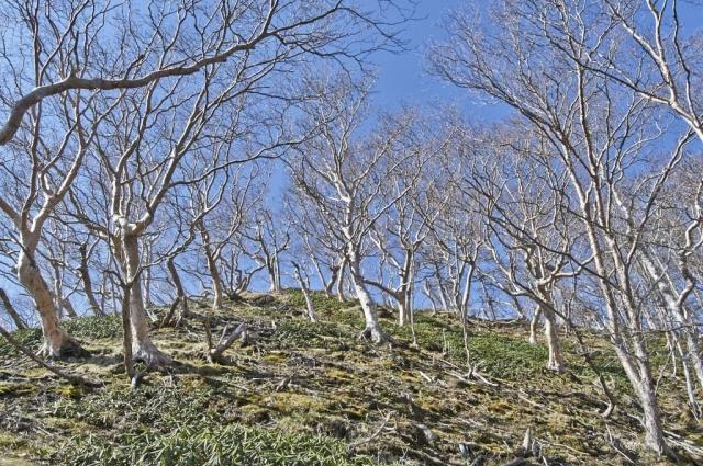 日光白根山の落葉のダケカンバ