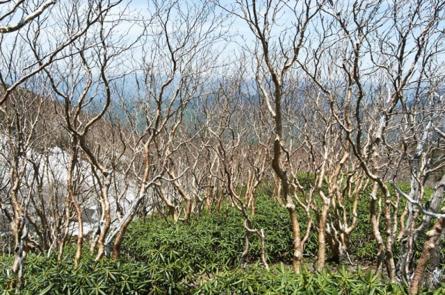 日光白根山のダケカンバ
