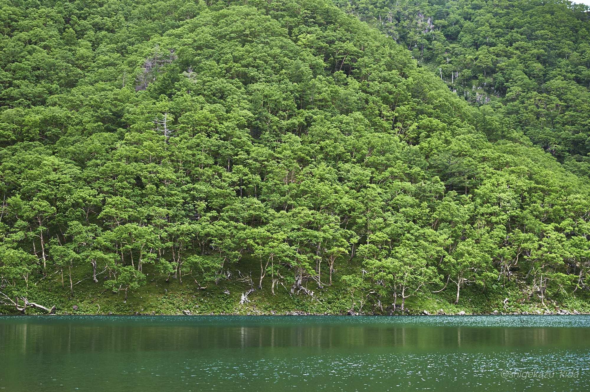 日光白根山の新緑のダケカンバ