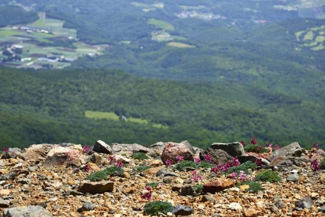 本白根山山頂稜線とコマクサ