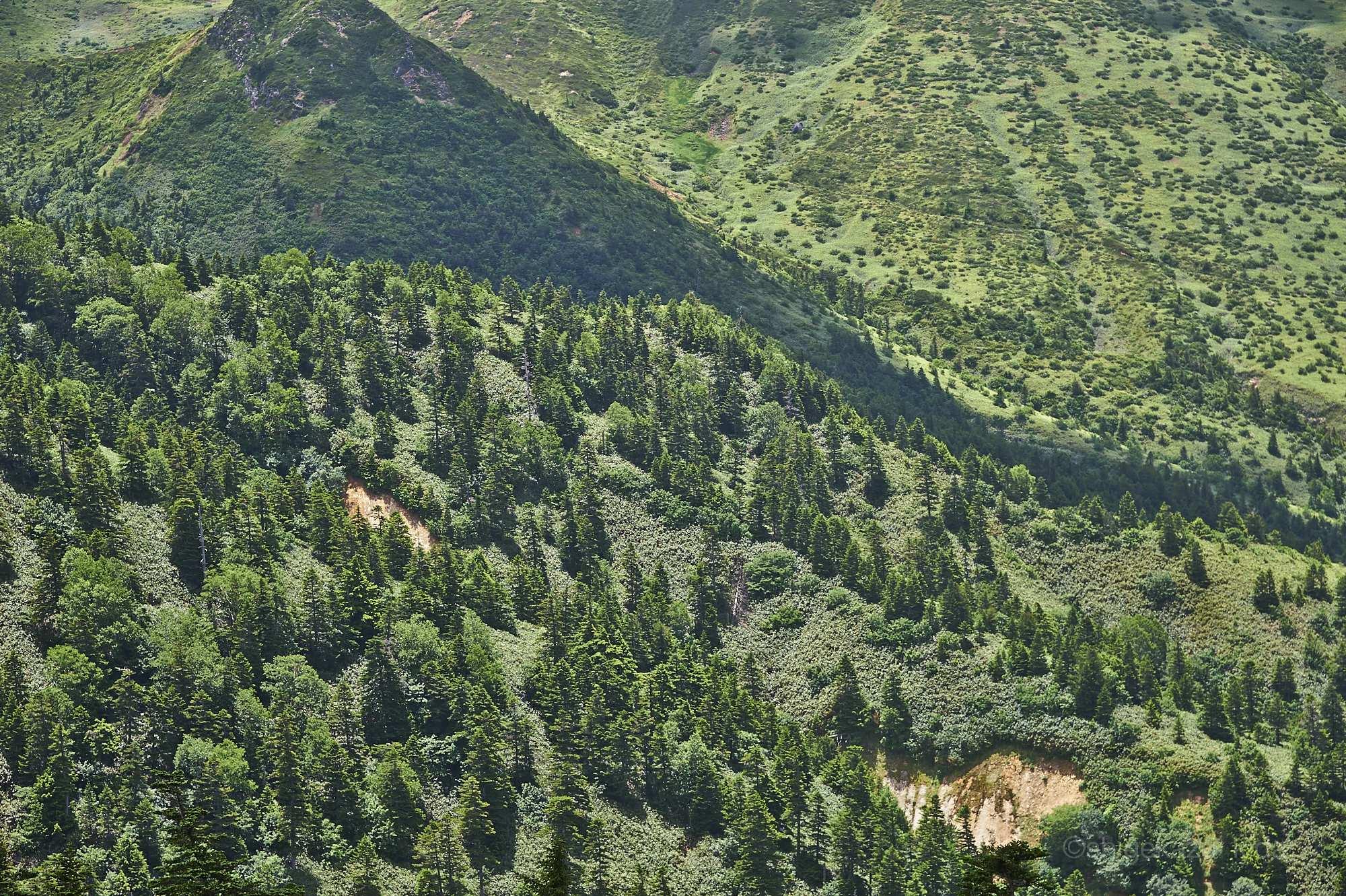 本白根山山頂稜線から見下ろす森