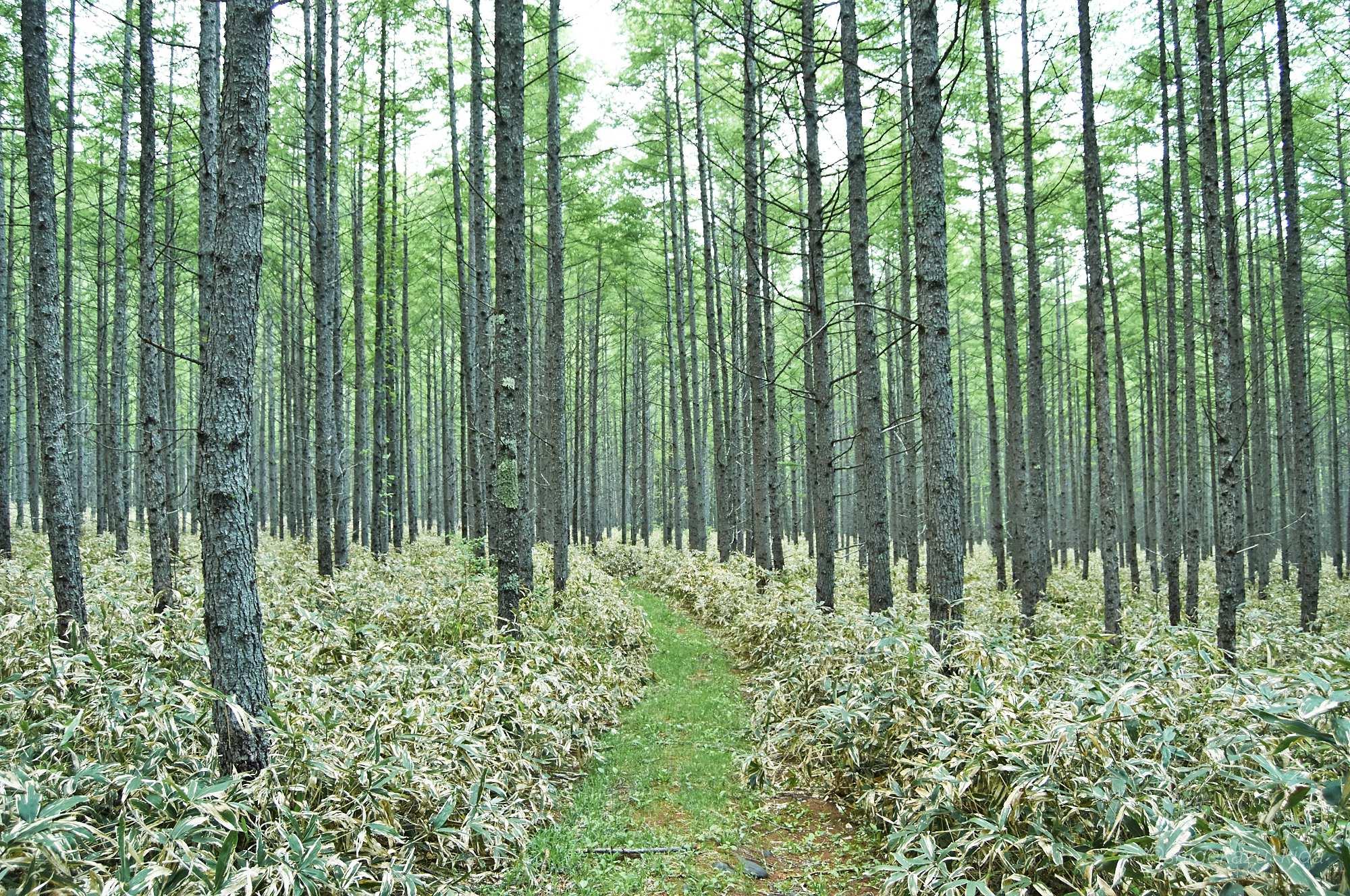 裏男体山林道の針葉樹林