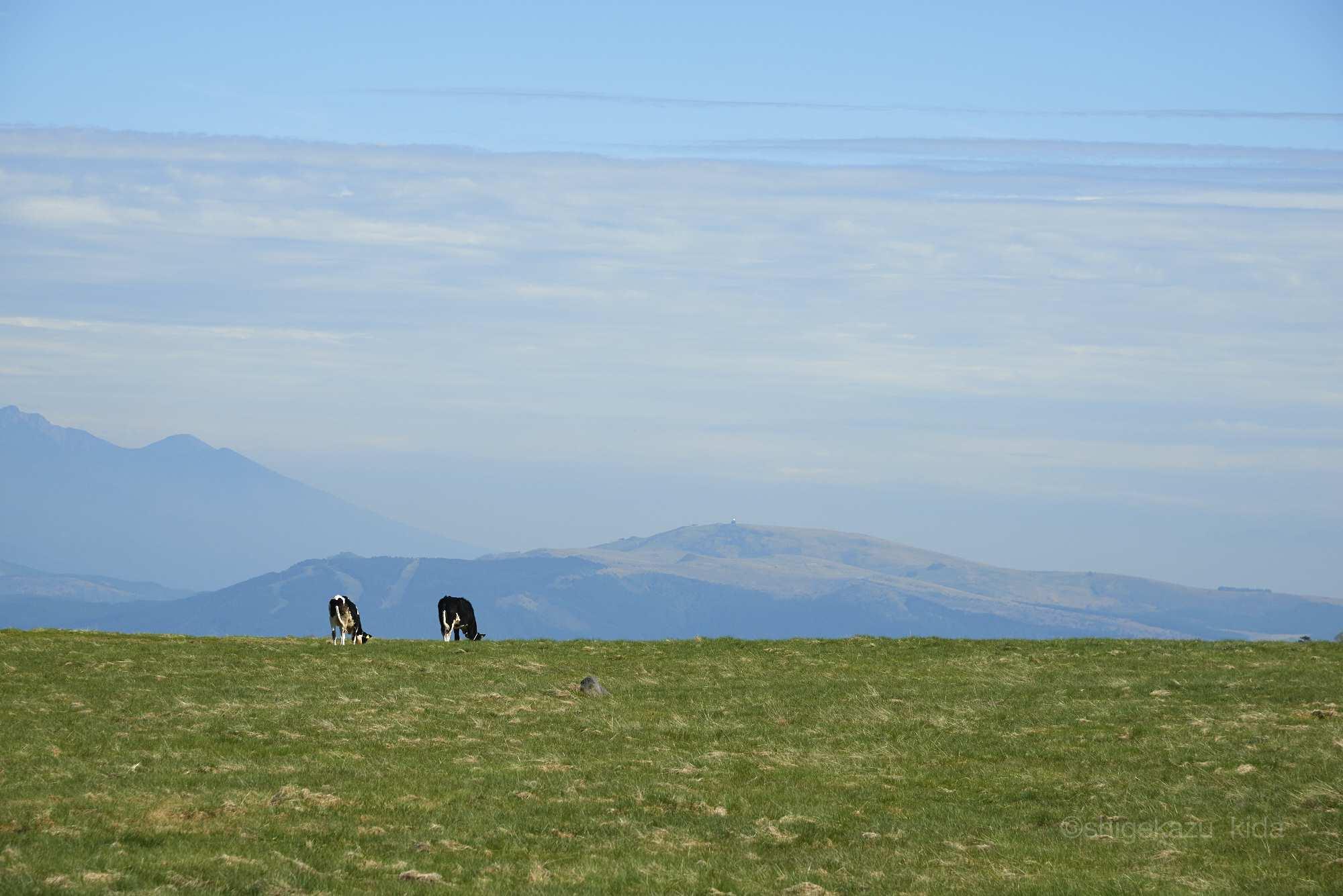 美ヶ原と牧場の牛