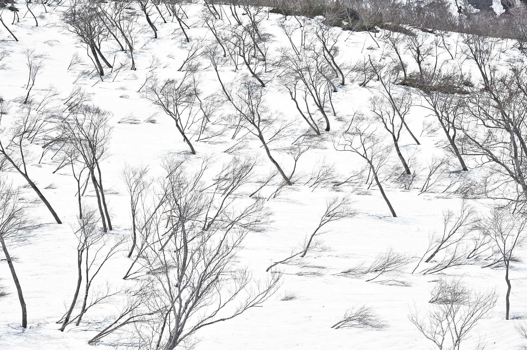 谷川岳の雪と木