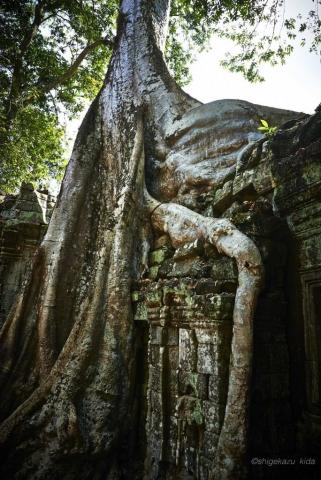 Angkor(アンコール)遺跡群にあるTaProhm(タ・プローム)に絡みつくスポアンの木の根